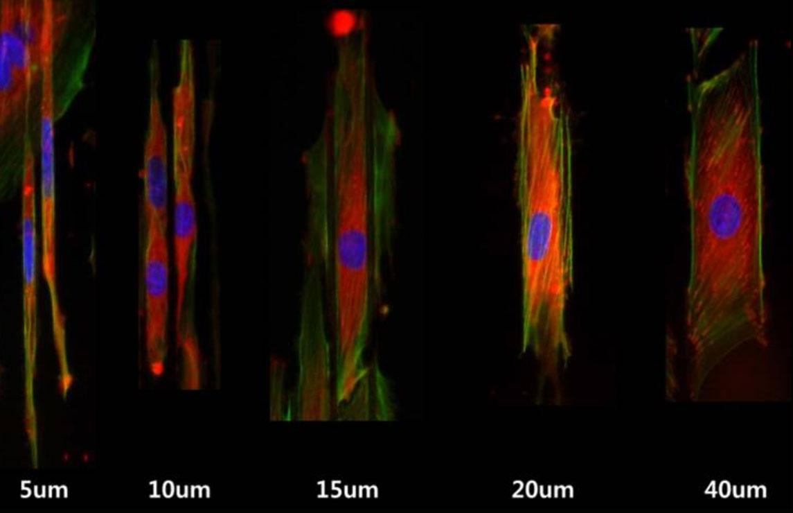 Cardiomyocyte patterning by microfabricated platform